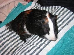 Malot, rongeur Cochon d'Inde