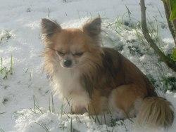 Douguy , chien Chihuahua