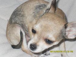 Feline, chien Chihuahua