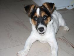 Minnie, chien Jack Russell Terrier