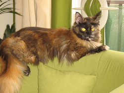 Félia, chat Maine Coon