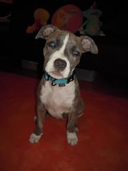 Gaya, chien American Staffordshire Terrier