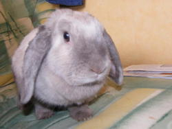 Boubouille, rongeur Lapin