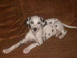 Louna, chien Dalmatien