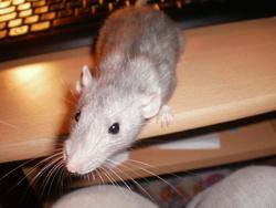Fleur, rongeur Rat