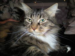 Miou Miou, chat Maine Coon