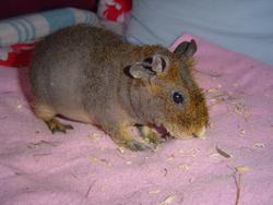 Hippo, rongeur Cochon d'Inde
