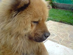 Lili, chien Chow-Chow
