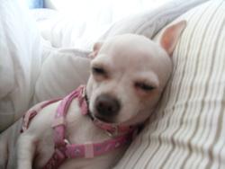 Pocca, chien Chihuahua