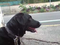 Blacky, chien Labrador Retriever