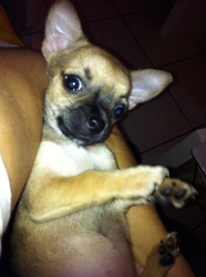 Feeby, chien Chihuahua