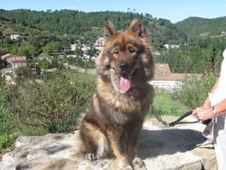 Eyson, chien Eurasier