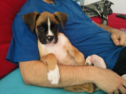 Éféa, chien Boxer