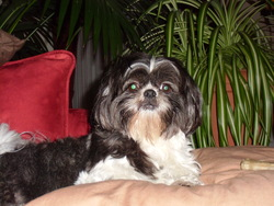 Effie, chien Shih Tzu