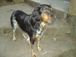 Effie, chien Épagneul breton
