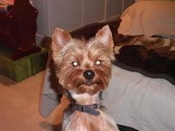 Effy, chien Yorkshire Terrier