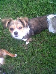 Effy, chien Chihuahua