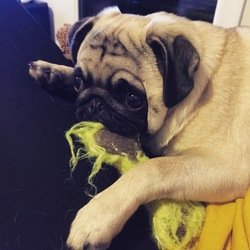 Effy, chien Carlin