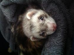 Effy, rongeur Furet