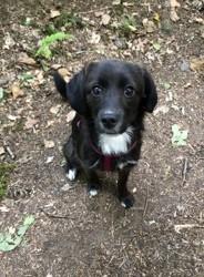 Effy, chien Bearded Collie