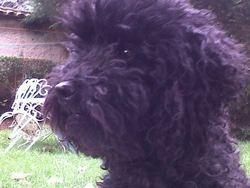 Efok, chien Caniche