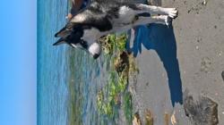 Éfy, chien Husky sibérien