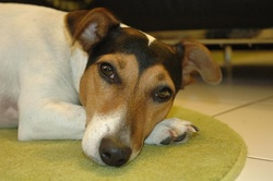 Eggy, chien Jack Russell Terrier
