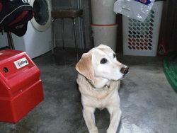 Eglantine, chien Labrador Retriever