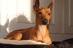 Églantine, chien Pinscher