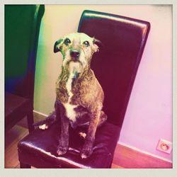 Eglantine, chien Cairn Terrier