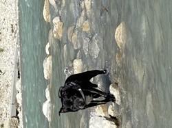 Ego, chien Staffordshire Bull Terrier