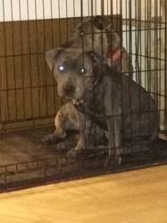 Ève, chiot Staffordshire Bull Terrier