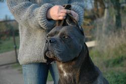 Egrégio De La Guittonnie, chien Cane Corso