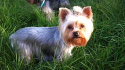 Égypte, chien Yorkshire Terrier