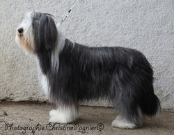 Eh'Kume Du Pct , chien Bearded Collie