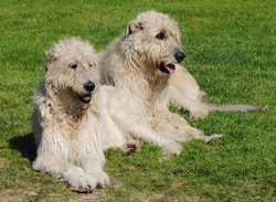 Ehtann , chien Lévrier irlandais
