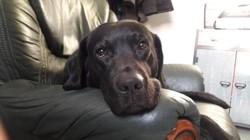 Eicko, chien Labrador Retriever