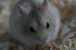 Eiden, rongeur Hamster