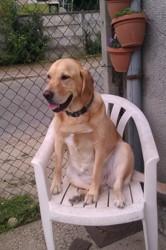Eidi, chien Labrador Retriever