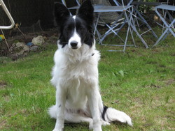 Eidie, chien Border Collie