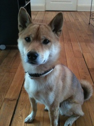 Eiji, chien Shiba Inu