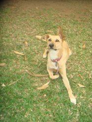 Eiken, chien Lévrier hongrois