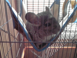 Eiko, rongeur Chinchilla