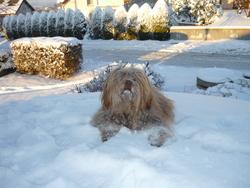 Eiko, chien Bichon havanais