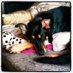 Eiko, chien Beauceron