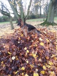 Eiko, chien Berger allemand