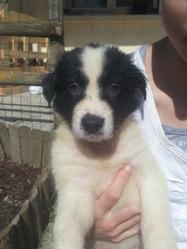 Eiko, chien Border Collie