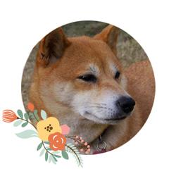 Eiko, chien Shiba Inu