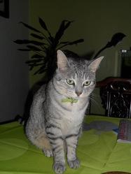 Eiko, chat Européen