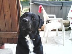 Eiko, chien Labrador Retriever
